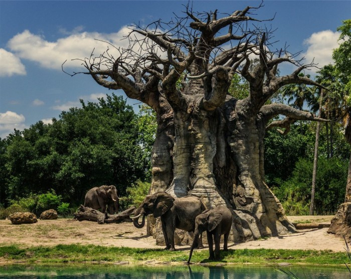 Elephants near a Baobab Tree