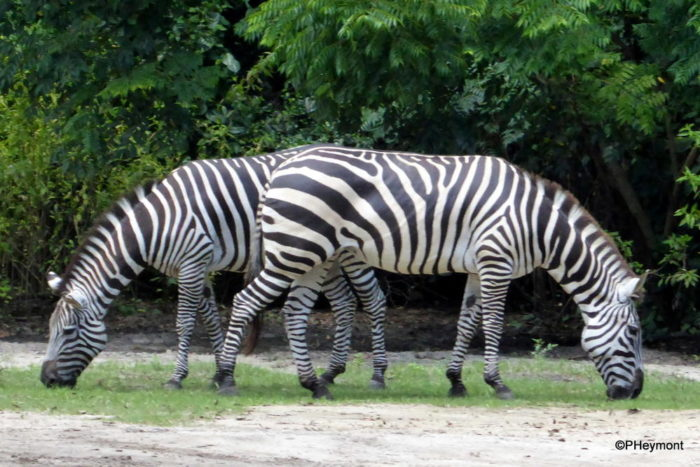 A picture of two zebra, standing so that they appear to be a single zebra with a head at either end.