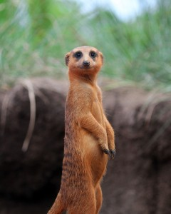 Vigilant meerkat on guard for any danger at the Brevard Zoo's Meerkat Hamlet.
