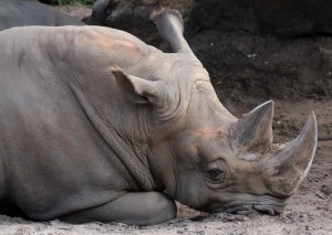 A white rhino resting at the Brevard Zoo.