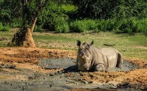 A Rhinoceros Cools Off
