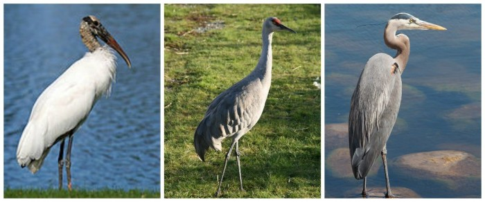 From Left: The Wood Stork, the Sandhill Crane, the Great Blue Heron. Photos: Wikimedia