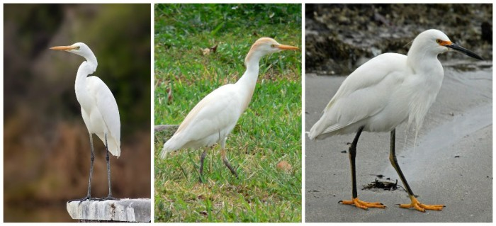From Left: Great Egret, Cattle Egret, Snowy Egret. All call Walt Disney World home. Images: Wikimedia