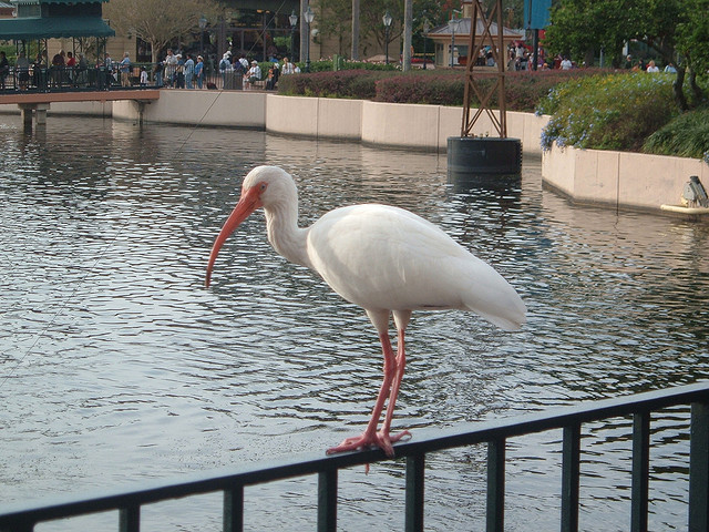 An Ibis perches along World Showcase Lagoon at Epcot. Photo: Michael Gray