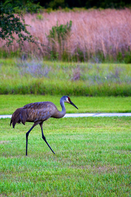 A Sandhill Crane at Disney Wilderness Preserve. These birds stand as tall as 5 feet. Photo: U.S. Fish & Wild