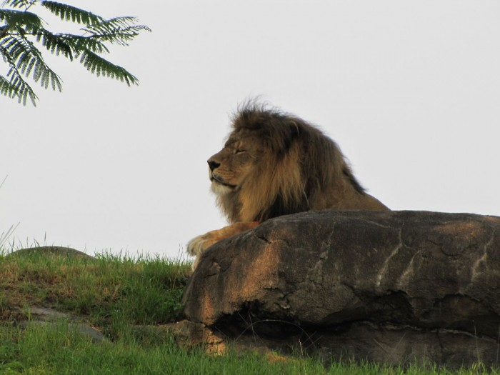 The mighty lion is one of the featured animals on Kilimanjaro Safaris.