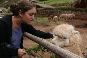 Feeding alfalfa to an alpaca.