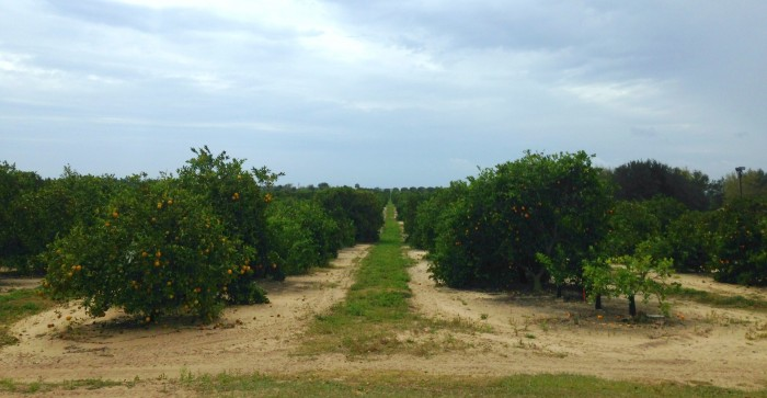 Orange groves surround Bok Tower Garden. You can also visit the Florida's Natural bottling plant in Lake Wales.