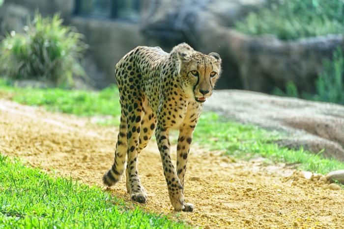 BGT_cheetah_sperduto