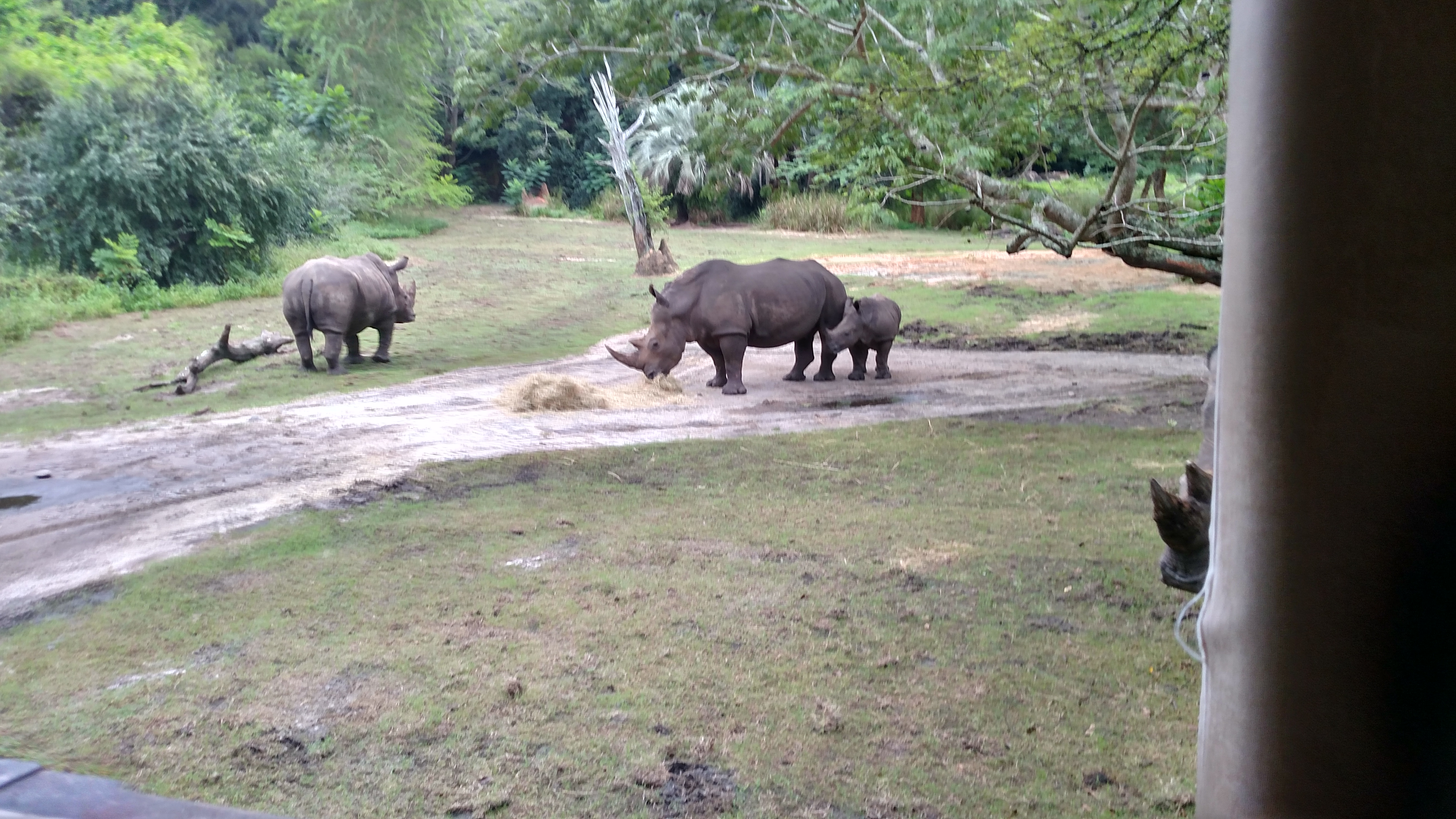 Rhinoceros enjoying the early morning temperatures